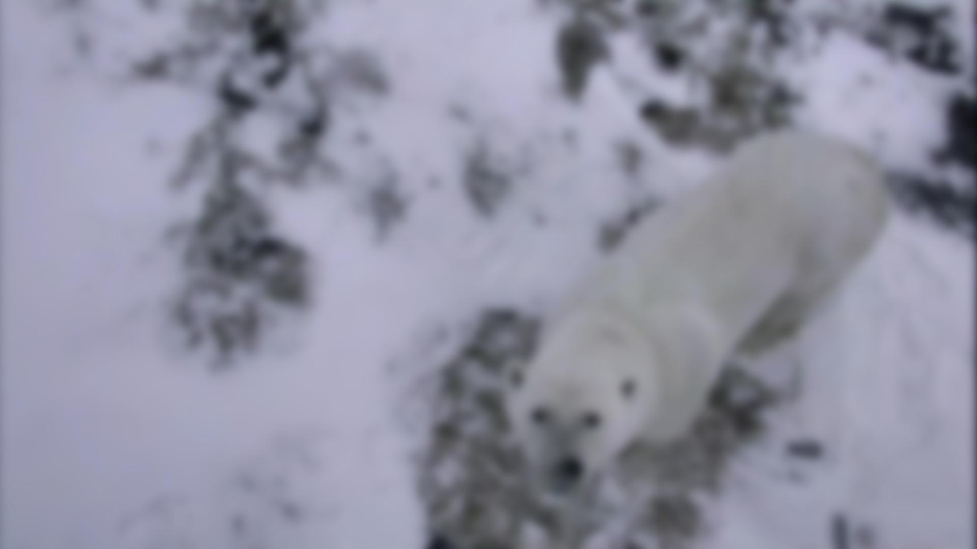 Live Polar Bear Cam - Hudson Bay Canada | Explore org