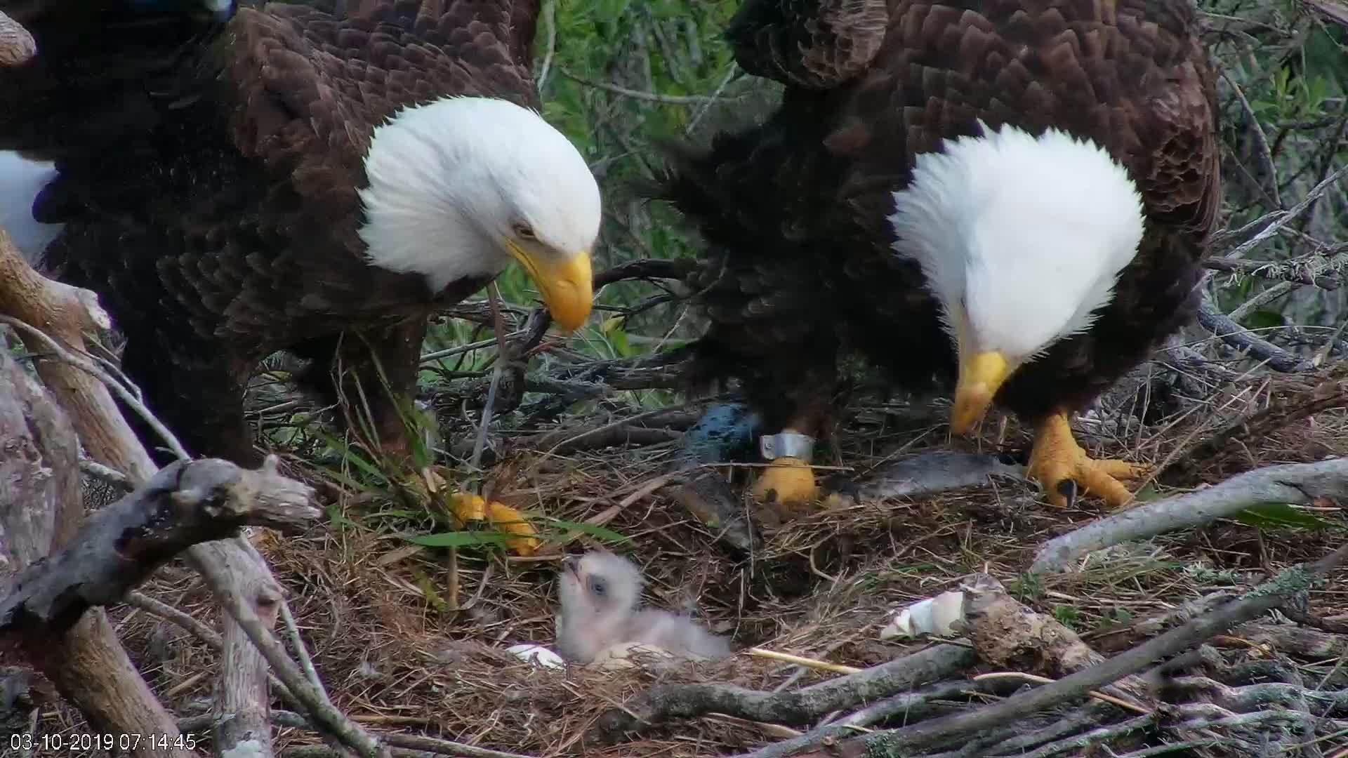 Fraser Point Bald Eagle Camera - Santa Cruz Island, California